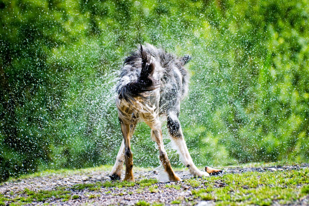 Dog shaking Water out of his Fur